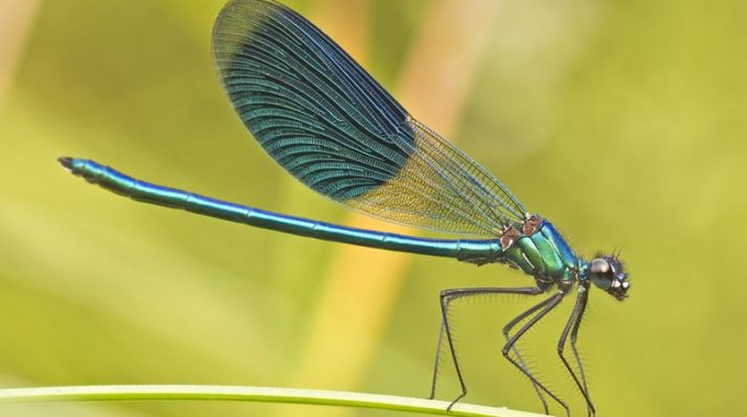 A Dragonfly Can Kill 100 Mosquitoes In A Day. Grow These ...